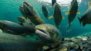 Musim Migrasi, Ribuan Ikan Australia Terdampar di Garut