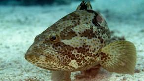 Beberapa Ikan Laut yang Berpotensi Tingkatkan Budidaya Laut Indonesia
