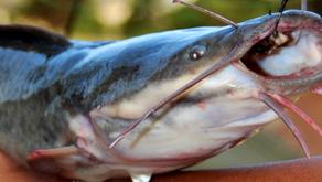 4 Jenis Ikan Lele yang Sering Dibudidaya