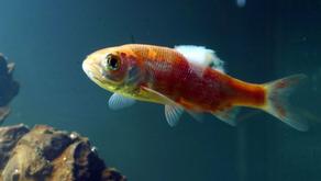 7 Penyakit yang Sering Sekali Menyerang Ikan Koi