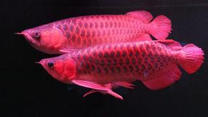 Cara Meningkatkan Warna Ikan Arwana