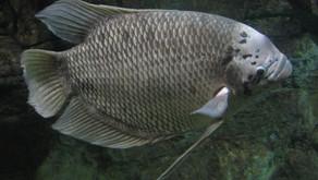 Mengenal Beberapa Jenis Ikan Gurame