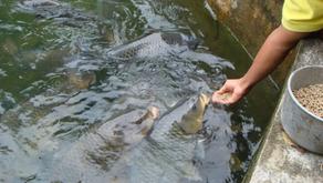Tips Budidaya Ikan di Musim Hujan Menurut Ahli