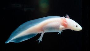 Axolotl, Ikan Hias Berkaki Asal Meksiko yang Curi Perhatian Dunia