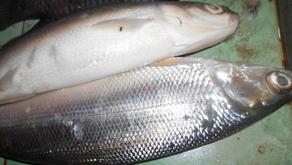 Dua Parasit Penyebab Penyakit Ikan Bandeng