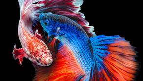 Betta Fish Tidak Bisa Disatukan Dengan Ikan Lain? Ini Jawabannya