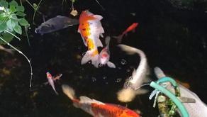 Ikan Koinya Mati Akibat Listrik Padam, Warga Jakarta Gugat PLN