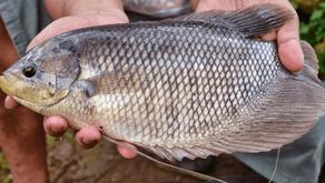 Hama dan Penyakit yang Sering Menyerang Ikan Gurami