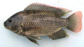 Manfaat Ikan Mujair Bagi Kesehatan