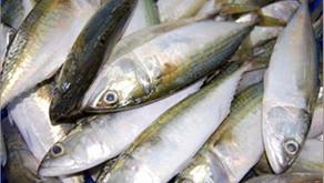 Nutrisi Ikan Kembung Ternyata Lebih Baik Dari Ikan Salmon