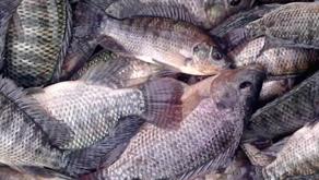 Budidaya Ikan Nila Praktis dengan Sistem Polikultur