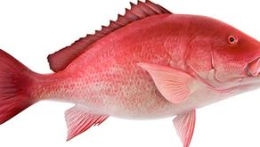 5 Jenis Ikan Kakap yang Dapat Dibudidayakan
