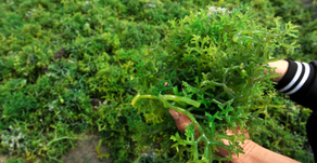 5 Negara Terbesar Tujuan Ekspor Rumput Laut Indonesia