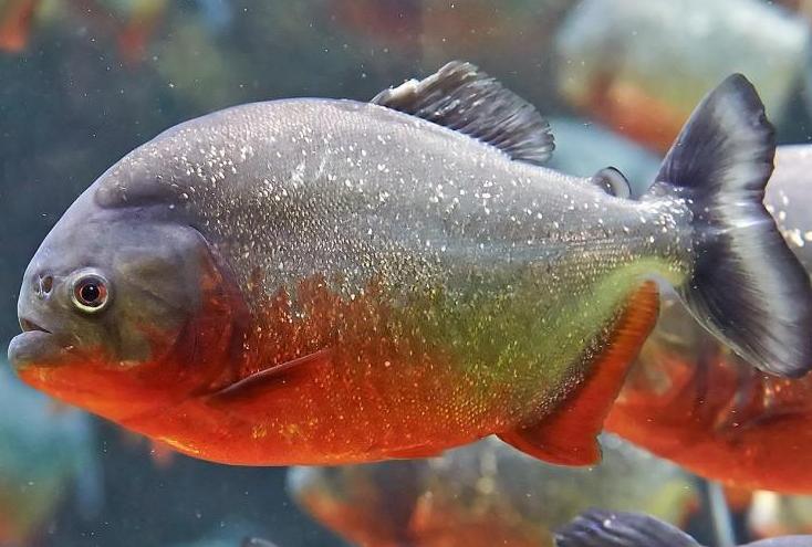 4 Ikan Hias Yang Sebaiknya Tidak Disatukan Dengan Ikan Lain