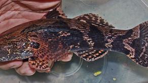 Mengapa Ikan Betutu Dijuluki Sebagai Ikan Malas?