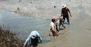Bahaya Lumpur Tambak Bagi Udang
