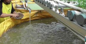 Membuat Probiotik Alami Untuk Ikan Lele