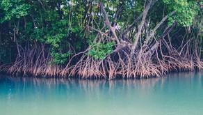 Menurut Penelitian, Mangrove Dapat Obati Penyakit Bintik Putih