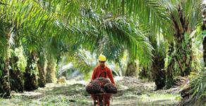 Indonesia Coba Kelola Minyak Kelapa Sawit Menjadi Avtur