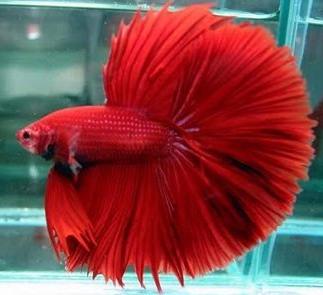5 Jenis Ikan Cupang Dengan Bentuk Dan Warna Paling Indah