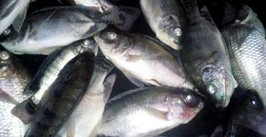Ribuan Ikan Nila di Maninjau Mati Massal Akibat Angin Kencang
