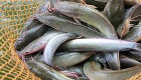 Tips Pemasaran Bisnis Ikan Lele yang Efektif