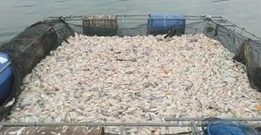 Puluhan Ton Ikan di Wonosobo Mati Massal