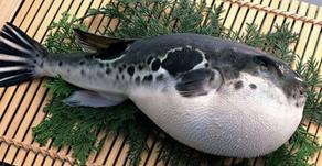 Sekeluarga Tewas Setelah Makan Ikan Buntal