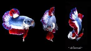 Ikan Cupang Dibandrol Rp 20 Juta. Begini Penampakannya