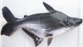 Mengenal Ikan Patin, Ikan Omnivora yang Hidup di Dasar Sungai