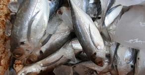 Cuaca Selat Sunda Membaik, Usaha Perikanan Laut Bahagia