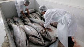 Sekarang Ekspor Perikanan Ke Jepang Bisa Langsung dari Manado