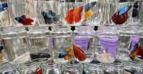 Ikan Cupang Digemari Dunia, Ladang Bisnis Baru Bagi Pembudidaya