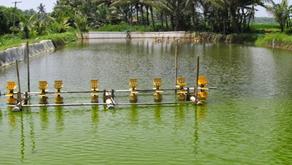 Warna Air Tambak yang Baik Bagi Pertumbuhan Udang