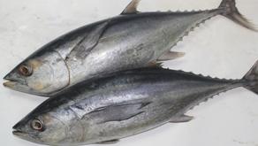 Beragam Manfaat Ikan Tongkol bagi Kesehatan Manusia