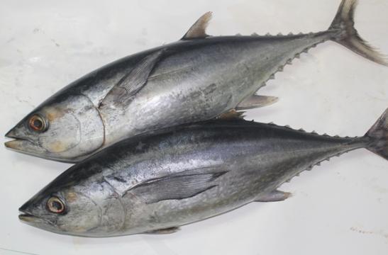 beragam manfaat ikan tongkol bagi kesehatan manusia beragam manfaat ikan tongkol bagi