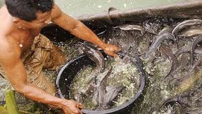 Ilmuwan Temukan Spesies Lele Baru di Sungai Mahakam