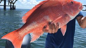 Manfaat Ikan Kakap Merah Bagi Kesehatan