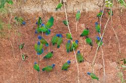 blueheadedparrot