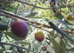 Olive production17.JPG