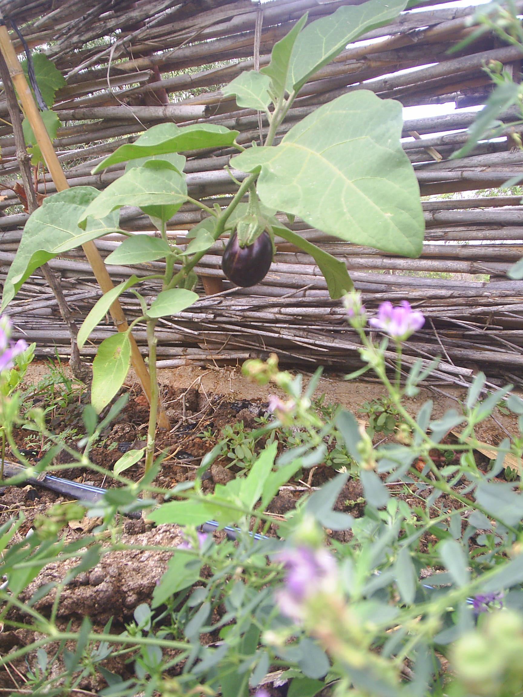 Polytunnel planting15.JPG