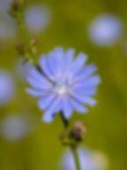 Chicory_-_Beziehungsblüte.jpg