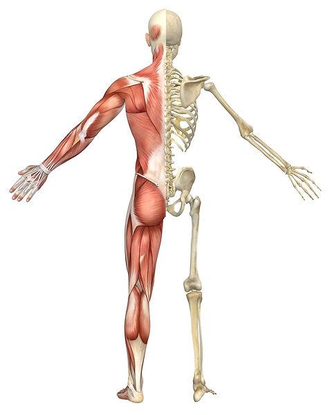 Muskel-Skelett.jpg