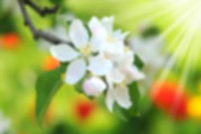 Cherry_Plum_-_Gelassenheitsblüte.jpg