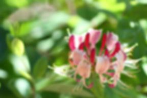 Honeysuckle_-_Vergangenheitsblüte.jpg