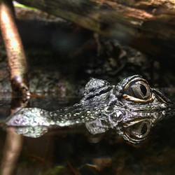 See you later alligator #aligator #aquarium #chicago #city #tourists #seeyousoon #reflection #eyes #