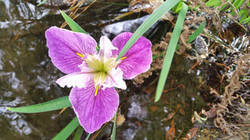 Iris in water feature