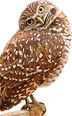 urrowing owl.png