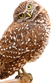 urrowing owl.png