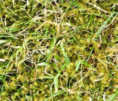 Lawn Moss Treatment